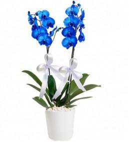 Ýkili Mavi Orkide