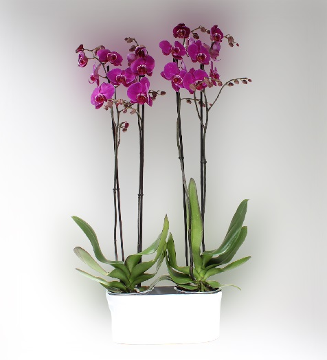 4 Dallý Renkli Orkide