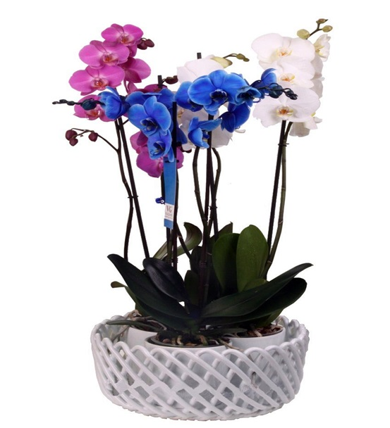 Mavi Pembe Beyaz Renkli Orkideler