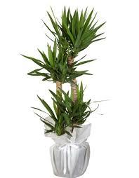 4 Lü Yucca