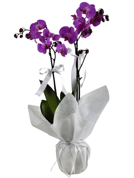 Ýki Dallý Renkli Orkide
