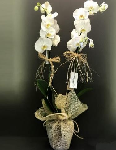 İkili orkide