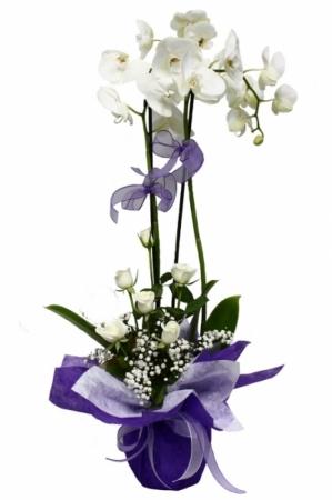 2 Dallı güllü beyaz orkide